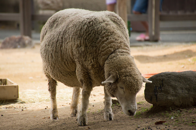 一人の日本語:「大きい羊」